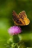 Grande farfalla Spangled del Fritillary Fotografia Stock Libera da Diritti