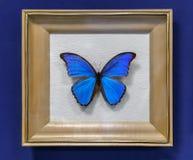 Grande farfalla tropicale, il didius di Morpho Immagine Stock Libera da Diritti
