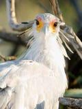 Grande fauna selvatica dell'animale del rapace di segretario Bird Looks Back Fotografie Stock Libere da Diritti
