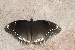 Grande femelle de papillon d'Eggfly photos stock