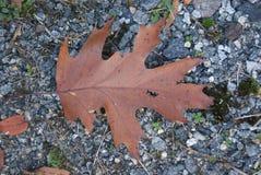 Grande feuille d'automne sur la terre Images libres de droits