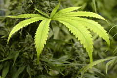 Grande feuille de marijuana sur l'usine d'intérieur de cannabis Photographie stock libre de droits