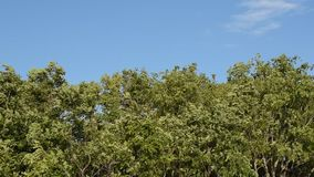 Grande feuille et branche d'arbre soufflant du vent dans le jour d'été banque de vidéos