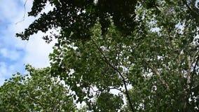Grande feuille et branche d'arbre soufflant du vent dans le jour d'été clips vidéos