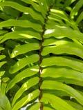 Grande feuille tropicale vert clair de fougère image libre de droits