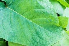 Grande feuille verte simple avec de grandes veines évidentes Photographie stock libre de droits