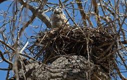 Grande filhote de coruja Horned no ninho foto de stock