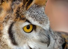 Grande Owl Close Up Horned Fotografia de Stock