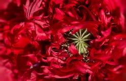 Grande fin rouge de wery de pavot Image libre de droits