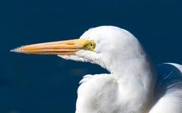 Grande fine del Egret in su Fotografia Stock Libera da Diritti