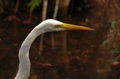 Grande fine del Egret in su Fotografia Stock