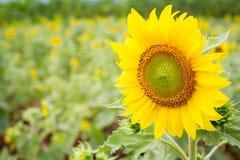 Grande fine del fiore del sole su Fotografie Stock