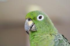 Grande fine del pappagallo su nel telaio Fotografie Stock Libere da Diritti