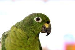 Grande fine del pappagallo su nel telaio Fotografie Stock