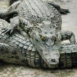 Grande fine dell'alligatore su Immagine Stock Libera da Diritti