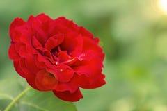 Grande fine della rosa rossa su Fiore Bud Macro Fotografie Stock