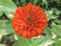 Grande fiore arancio del prato Fotografia Stock Libera da Diritti