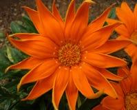 Grande fiore arancione Fotografie Stock Libere da Diritti