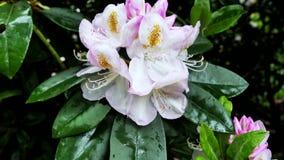 Grande fiore bianco in un primo piano del giardino Correzione di colore stock footage