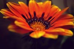 Grande fiore con stame e polline, fine su Fotografia Stock