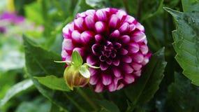 Grande fiore del germoglio su un cespuglio verde Fotografia Stock