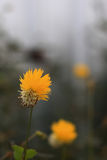 Grande fiore del maiyalaf Immagine Stock Libera da Diritti