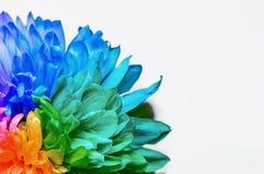 Grande fiore dell'arcobaleno su fondo bianco immagine stock