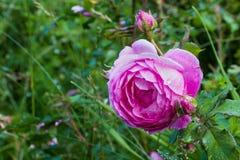 Grande fiore della rosa di rosa con le gocce di pioggia in giardino Piante verdi come priorità bassa closeup Fotografie Stock Libere da Diritti