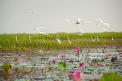 Grande fiore di loto e dell'egretta Immagini Stock Libere da Diritti