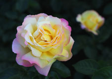 Grande fiore di tè Rosa Macro Bokeh Sfondo naturale Fotografia Stock Libera da Diritti