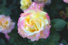 Grande fiore di tè Rosa Macro Bokeh Sfondo naturale Immagine Stock Libera da Diritti