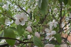 Grande fiore di una cotogna dell'albero da frutto immagini stock