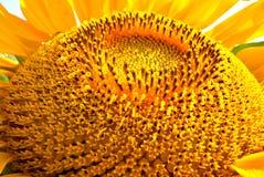 Grande fiore dorato del sole Fotografia Stock Libera da Diritti