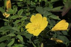 Grande fiore giallo Immagini Stock