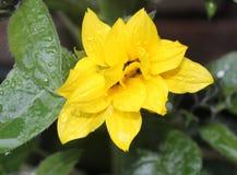 Grande fiore giallo dopo la doccia immagine stock