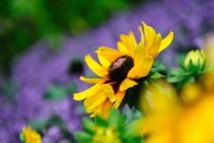 Grande fiore giallo vibrante Fotografia Stock