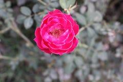 Grande fiore originale di Rosa Immagini Stock Libere da Diritti