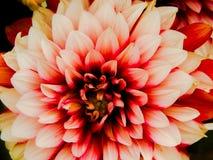 Grande fiore rosa fotografie stock libere da diritti