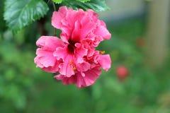 Grande fiore rosa dell'ibisco doppio fotografia stock