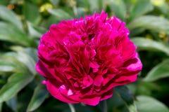 Grande fiore rosso Fotografie Stock