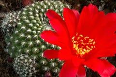 Grande fiore rosso drammatico audace del cactus Fotografie Stock Libere da Diritti