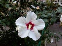 Grande fioritura del fiore bianco Fotografie Stock