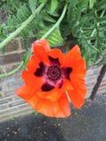 Grande fioritura del fiore del papavero rosso fotografia stock libera da diritti