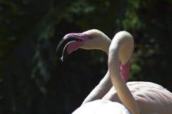 Grande flamingo cor-de-rosa com a boca aberta do bico curvado no jardim zoológico do LA imagem de stock royalty free