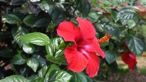 Grande fleur d'hibiscus rouge Hibiscus rose sinensis se balançant dans le vent sur les feuilles vertes arrière-plan naturel banque de vidéos