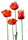 Grande fleur de pavot image stock