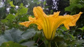Grande fleur de potiron Photographie stock libre de droits