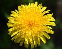 Grande fleur jaune Images libres de droits