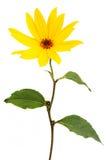 Grande fleur jaune de marguerite   Photographie stock