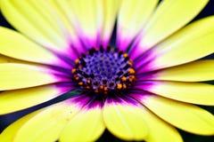 Grande fleur jaune en fleur images stock